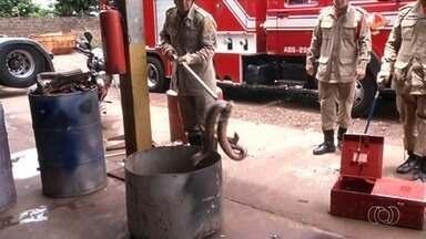 Nos últimos dias, bombeiros retiram três jiboias de dentro de casas de Rio Verde, em Goiás - Só neste ano, 130 animais silvestres foram resgatados de áreas residenciais da cidade.