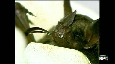 Aplicativo do CCZ orienta como os moradores devem agir ao encontrar morcegos em casa - Neste ano, já foram encontrados vinte e quatro morcegos infectados com o vírus da raiva em Foz do Iguaçu.