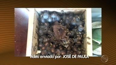 Estação Agrícola responde dúvida de telespectador sobre criação de abelhas sem ferrão - Estação Agrícola responde dúvida de telespectador sobre criação de abelhas sem ferrão.
