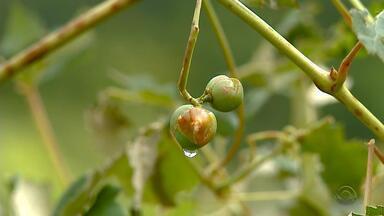 Chuva com granizo destrói 7 mil toneladas de uva na Serra do Rio Grande do Sul - Em Nova Pádua, 20% da produção ficou comprometida.