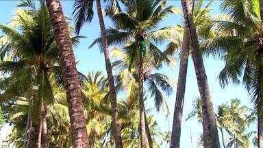 Cocos com risco de quedas começam a ser retirados na orla de Maceió - Perigos foram mostrados em reportagem do AL TV. Quem passa no local está mais aliviado.