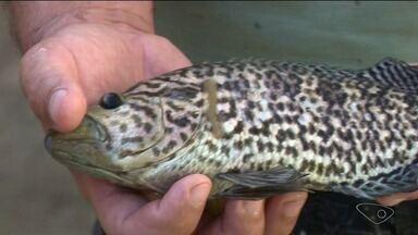 Novo tipo de peixe encontrada no rio Itapemirim, no ES, é ameaça a outras espécies - Segundo biólogos, o tucunaré-tigre, encontrado no rio, é natural da América Central e se alimenta de outras espécies de peixes.