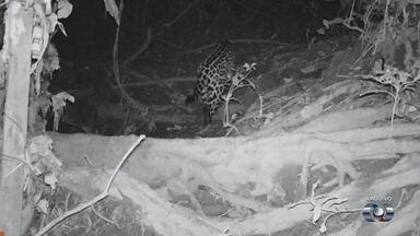 Onça é vista em condomínio horizontal em Goiânia - Ibama confirmou que animal esteve no local pelas pegadas deixadas.