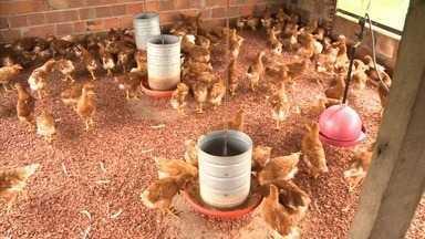 Produtores da zona rural de Santana do Ipanema investem na criação de galinha caipira - Objetivo é conseguir melhorar a renda com cooperativa.