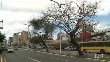 Falta de cuidado com árvores de São Luís causa riscos a pedestres e motoristas - Além de tudo, paisagem da capital ainda tem ficado mais cinza