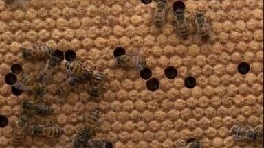 Biólogo explica como trocar os favos do ninho - Favo velho prejudica a postura da rainha e as abelhas operárias nascem em tamanho reduzido. Por isso, é preciso fazer a troca de tempos em tempos. É preciso observar a condição da colmeia e do ambiente.