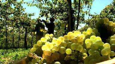 Qualidade da safra da uva no RS foi acima da média, com açúcar e acidez bem equilibradas - Safra de uva tem seu ciclo acelerado em função do clima.