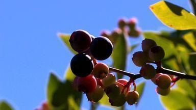 Rio Grande do Sul é o principal produtor de mirtilo do país - Assista ao vídeo.