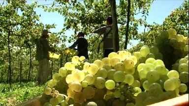 Colheita de uva no RS é antecipada e produtores comemoram a qualidade - Os agricultores recebem R$ 0,92 pelo quilo da uva. Mesmo valor da safra passada. O Rio Grande do Sul é o maior produtor nacional de uva e vinho.