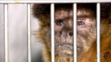 Macacos não transmitem febre amarela - Maltratar e matar macacos atrapalha o mapeamento de áreas com circulação do vírus da febre amarela