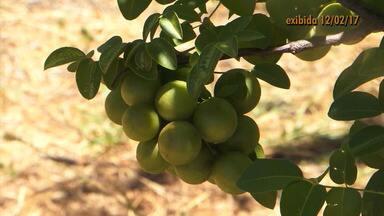 Retrospectiva 2017: pesquisadores desenvolvem trabalho para preservação do umbuzeiro - A árvore frutífera é um símbolo do sertão, mas tem sido cada vez menos plantada no estado da Bahia.