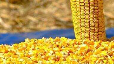 Produção de milho no RS tem expectativa de safra menor em relação a de 2017 - Estado é o terceiro maior produtor do alimento no Brasil.