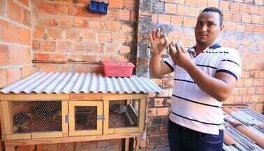 Especialista explica por que ovos de codorna estão sem manchas - Confira a resposta para a dúvida do produtor Clécio Vieira, aqui de Aracaju.