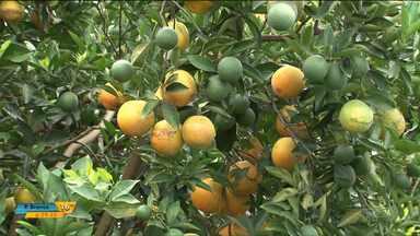 Safra recorde derruba preço da laranja - Apesar da grande oferta do produto, os preços baixos não devem durar muito tempo.