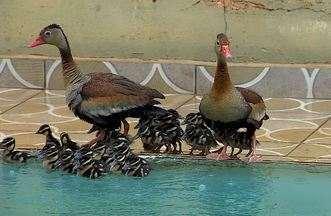 Marrecas-caboclas procuram piscina para criar os filhotes (Bloco 01) - Filhotes de marreca-cabocla usam piscina em Viradouro (SP) para crescer.