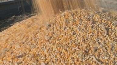 Queda na colheita de milho preocupa agronegócio de SC - Queda na colheita de milho preocupa agronegócio de SC