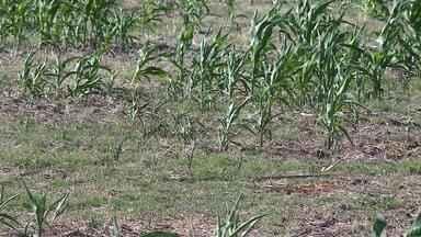 Falta de chuva no sul do RS prejudica agropecuaristas - Assista ao vídeo.