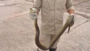 Moradores de Corumbá e Ladário são surpreendidos quase todos os dias por cobras - Visitantes vindos do Pantanal assustam os moradores.