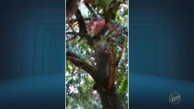 Vídeo mostra onça dentro de condomínio, em Campinas - Segundo moradores, ela ficou em cima de uma árvore depois de se assustar com cachorros.