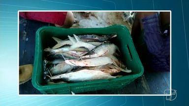 Ação apreende peixes em geleira vinda de Monte Alegre; maioria era da espécie macapá - Todo o pescado apreendido foi distribuído entre comunidades carentes e órgãos de assistência social.