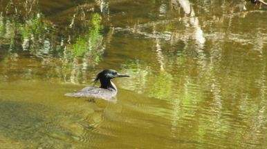 Pato-mergulhão é redescoberto na Serra do Mar (Bloco 02) - A espécie rara e ameaçada de extinção foi avistada em Salesópolis.