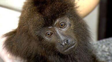 Bugios recebem cuidados - Primatas passam por reabilitação para serem reintroduzidos à natureza.