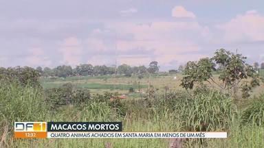 Um macaco morto foi encontrado na terça-feira em Santa Maria - Com este caso subiu para 4 o número de macacos mortos nesta região em menos de 1 mês.