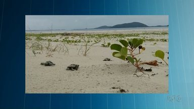 Tartarugas-cabeçudas desovam no litoral do Estado - De 130 ovos, cinco conseguiram chegar à água