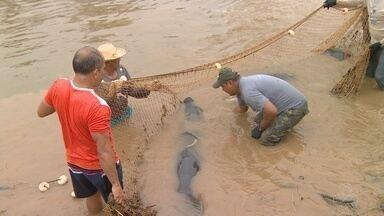 Após período de reabilitação, dez peixes-bois retornam a rios da Amazônia - Animais foram soltos no Baixo Purus.