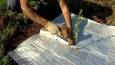 O que você pode fazer hoje pelo amanhã - Técnica aproveita caixinhas, de leite e suco, em reflorestamento