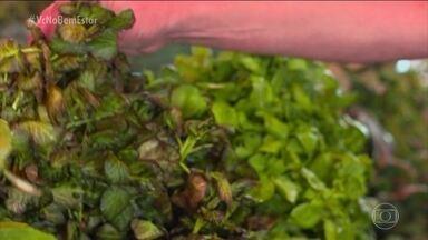 Estudo associa consumo de folhas verdes com saúde do cérebro - O estudo conclui que consumir folhas verdes duas vezes por dua diminui em até 10% a perda da memória. O segredo dessas folhas é a presença de vários nutrientes amigos da nossa memória.