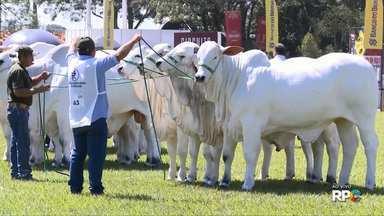 Raça Nelore tem 480 animais em julgamento na Expô Londrina - A Expô Londrina faz parte do ranking Nelore de animais, criadores e expositores 2018.