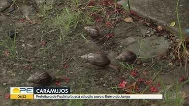 Vigilância Sanitária desiste de aplicar veneno para acabar infestação de caramujos - Prefeitura de Paulista informou que será preciso estudar outra forma de retirar animais