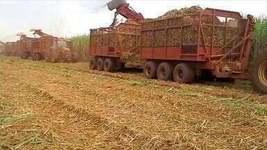 Conab afirma que produção de cana de açúcar tem leve queda - Conab afirma que produção de cana de açúcar tem leve queda