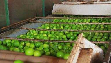 Produção de limão taiti em Neópolis conquista reconhecimento internacional - Produção de limão taiti em Neópolis conquista reconhecimento internacional