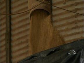 Plantio do trigo está atrasado no estado - Greve dos caminhoneiros atrapalhou entrega de insumos