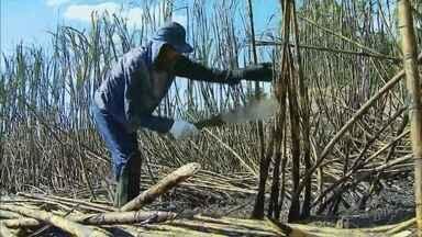 Colheita da cana de açúcar deve render mais de 2 milhões de sacas em Passos, MG - Colheita da cana de açúcar deve render mais de 2 milhões de sacas em Passos, MG