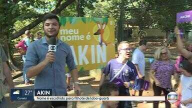 Akin é o nome escolhido para o filhote de lobo guará do Zoológico de Belo Horizonte - O nome foi eleito com 48% dos votos. A votação foi feita pelo site da Globo Minas.