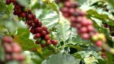 Sistema de poda de café arábica aumenta produtividade do cafeicultor em Iconha, ES - Algumas técnicas para melhorar o desempenho na agricultura são importantes, e o sistema implantado há quatro anos tem gerado benefícios