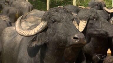 Produtores rurais de Viana veem lucro na produção de búfalos, no ES - Segundo o produtor, os búfalos são mais fáceis de manejo e têm menos problemas de saúde