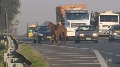 Cavalos soltos na Rodovia Luiz de Queiroz quase provocam acidente em Americana - Dois animais andavam pelo acostamento, comendo mato na lateral. Um deles chegou a entrar em uma das faixas. Um homem tocou os cavalos para a marginal.