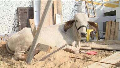 Vaca cai de telhado em residência na Avenida das Torres, em São José - Vaca cai de telhado em residência na Avenida das Torres, em São José