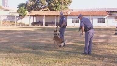 Cães ajudam no combate aos crimes em Tatuí - Os cachorros no combate ao crime conseguem tanto encontrar drogas e pessoas desaparecidas pelo cheiro, como também render bandidos. Só em Tatuí, neste ano, os cães já ajudaram em mais de 100 casos.