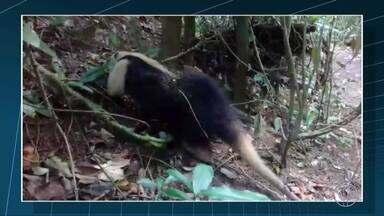 Tamanduá-mirim é devolvido à natureza em São Francisco de Itabapoana, no RJ - Assista a seguir.