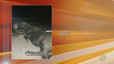 Búfalos soltos na pista causam acidente entre três veículos em Getulina - Dois búfalos soltos na pista causaram um acidente entre três veículos na noite de sábado (28) em uma rodovia de Getulina (SP).