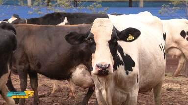 Raiva preocupa pecuaristas do oeste do estado - Só em Serranópolis do Iguaçu, 16 animais morreram nos últimos meses