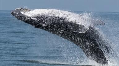 Baleias jubartes no litoral norte de SP chamam atenção de especialista - Projeto registra em fotografias aves e mamíferos marinhos que visitam a região.
