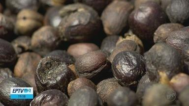 Seca dos últimos anos muda a produção de café no Sul de Minas - Seca dos últimos anos muda a produção de café no Sul de Minas