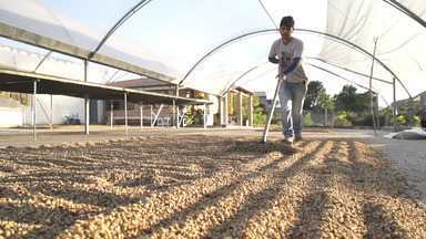 O 'Vumbora' mostra a produção de café em Piatã - O 'Vumbora' mostra a produção de café em Piatã