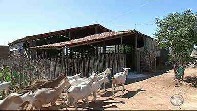 Criadores celebram produção de leite no Sertão após chuva - Foram sete anos de seca.